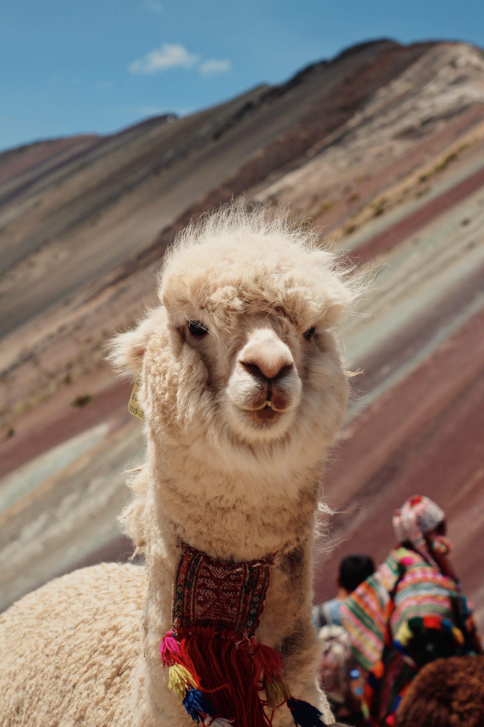 Een Lama in Peru