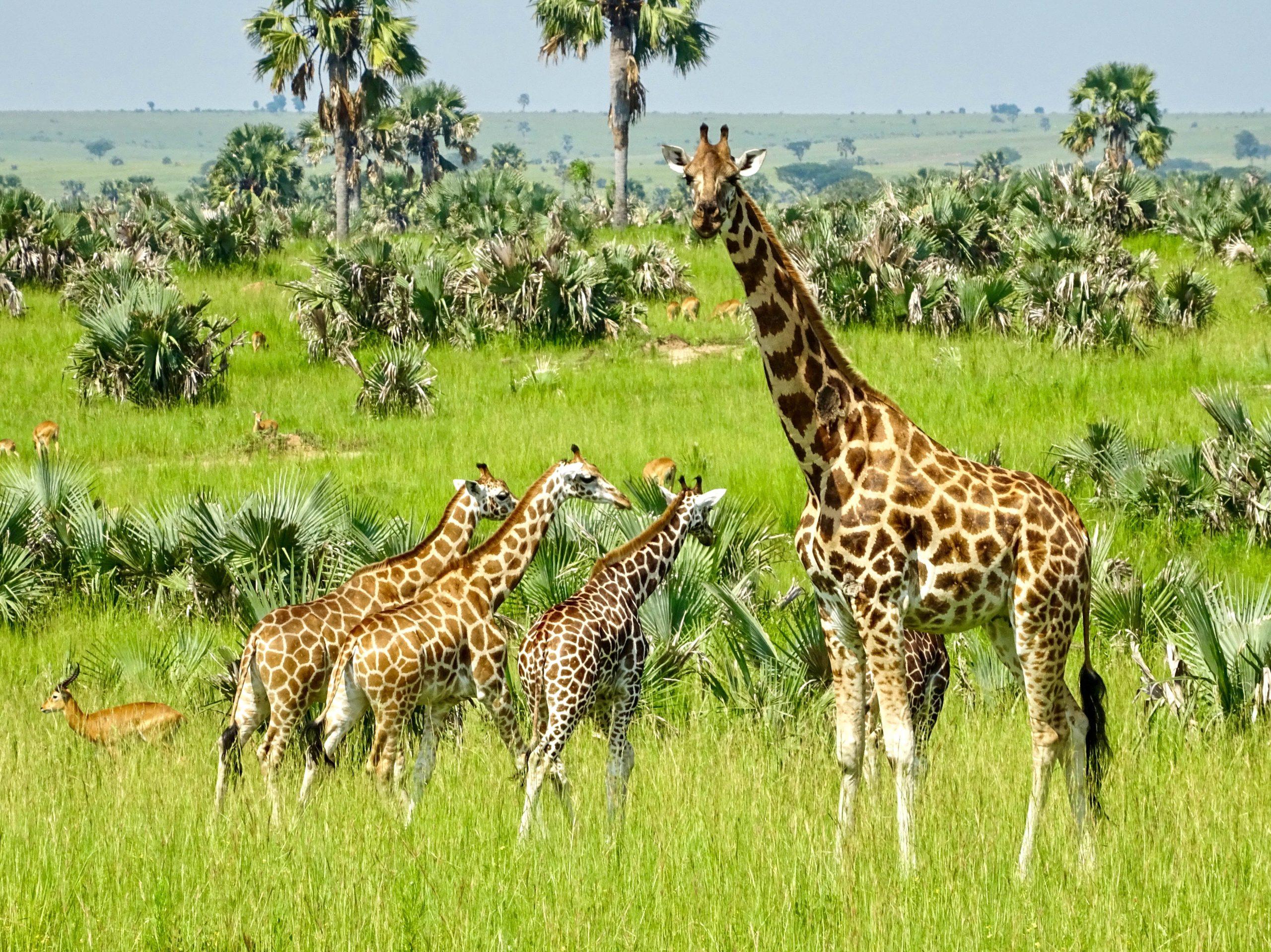 Rotschild giraffes in Murchison Falls National Park