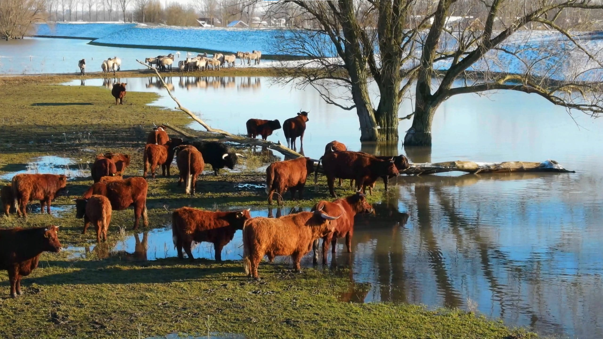 uiterwaarden beuningen hoog water sneeuw dieren