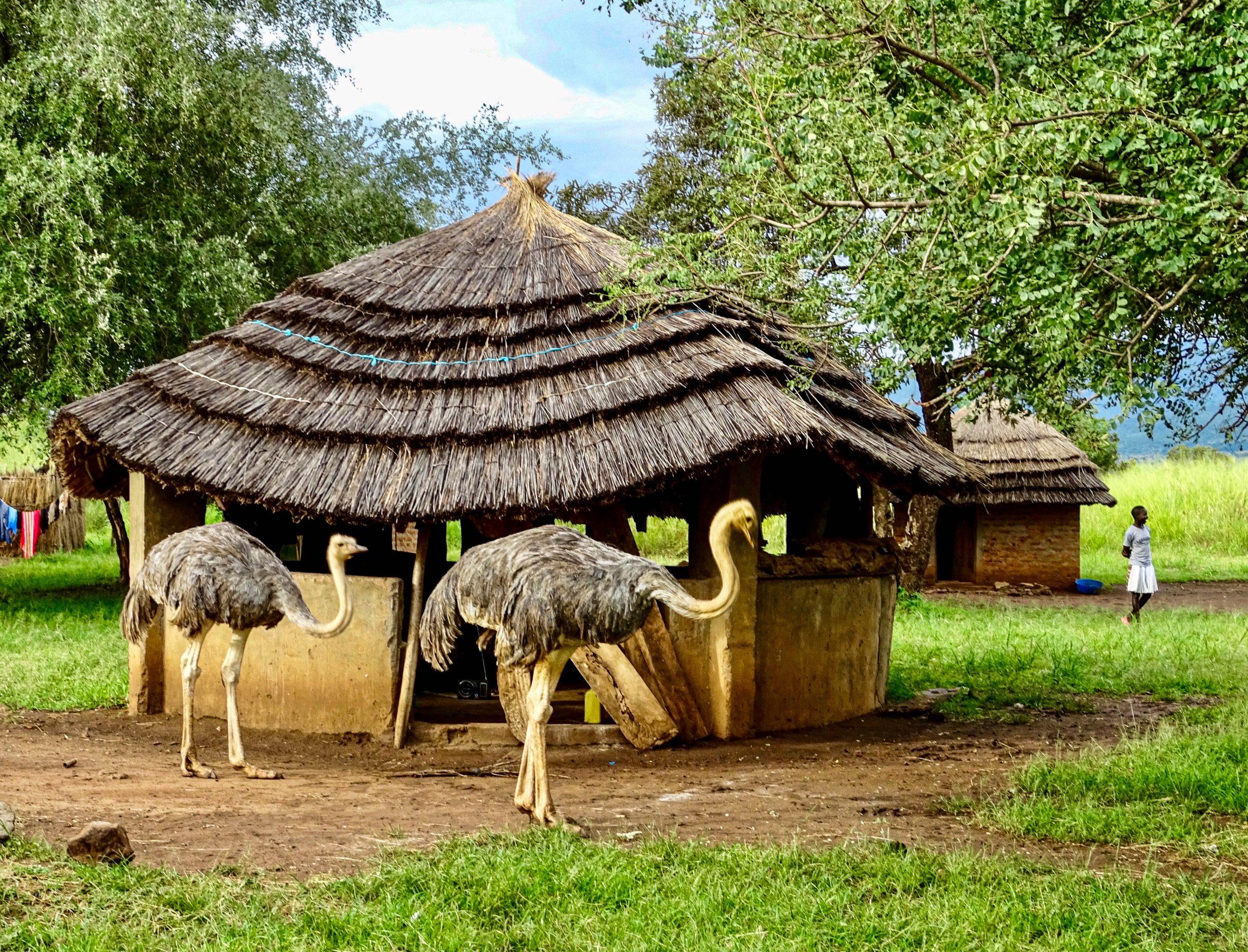Twee struisvogels houden een inspectie in het restcamp van Pian Upe Wildlife Reserve