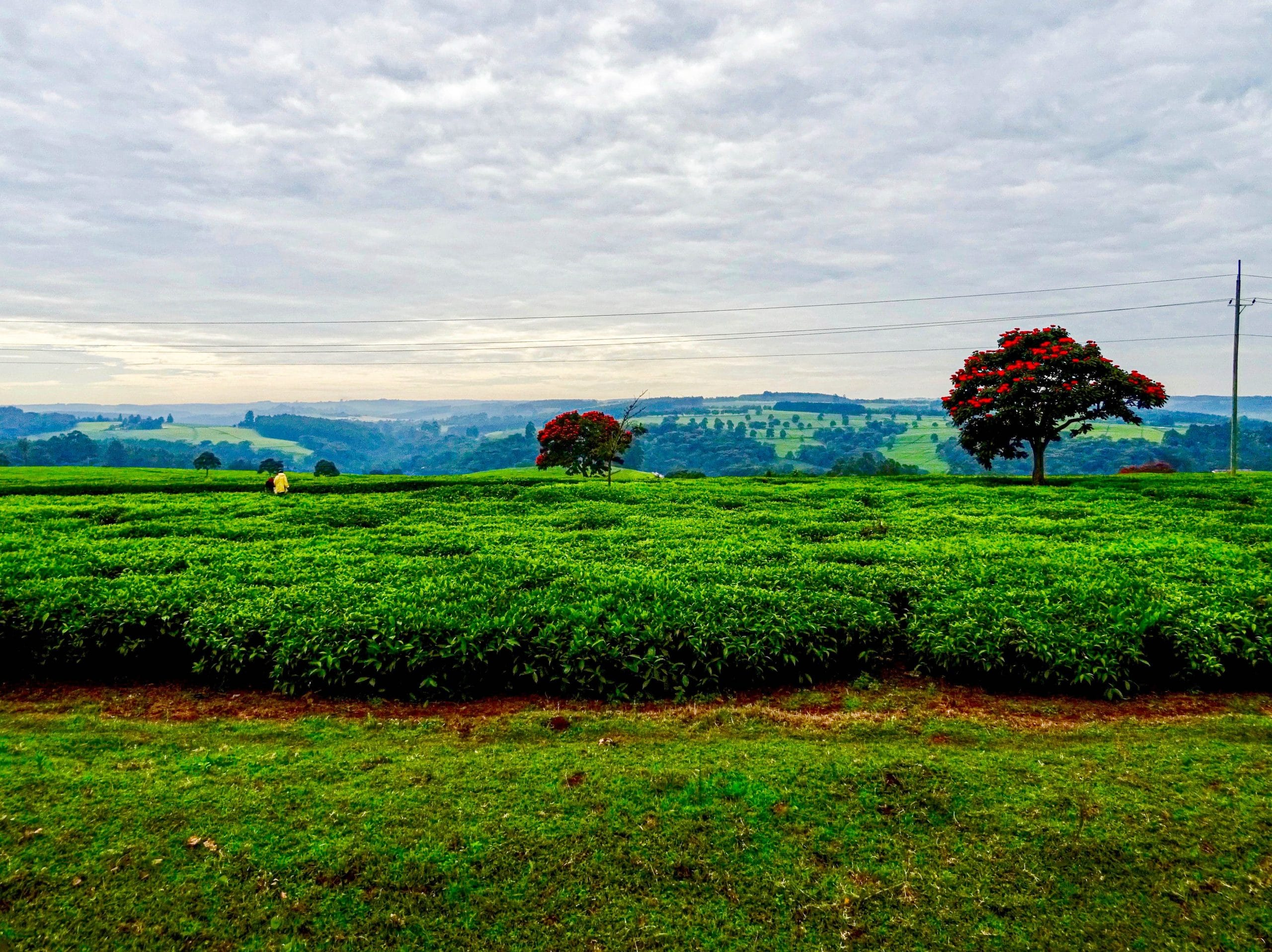 Theeplantage van Unilever in Kericho County