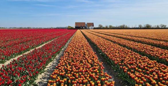 Tulpenvelden in Nederland