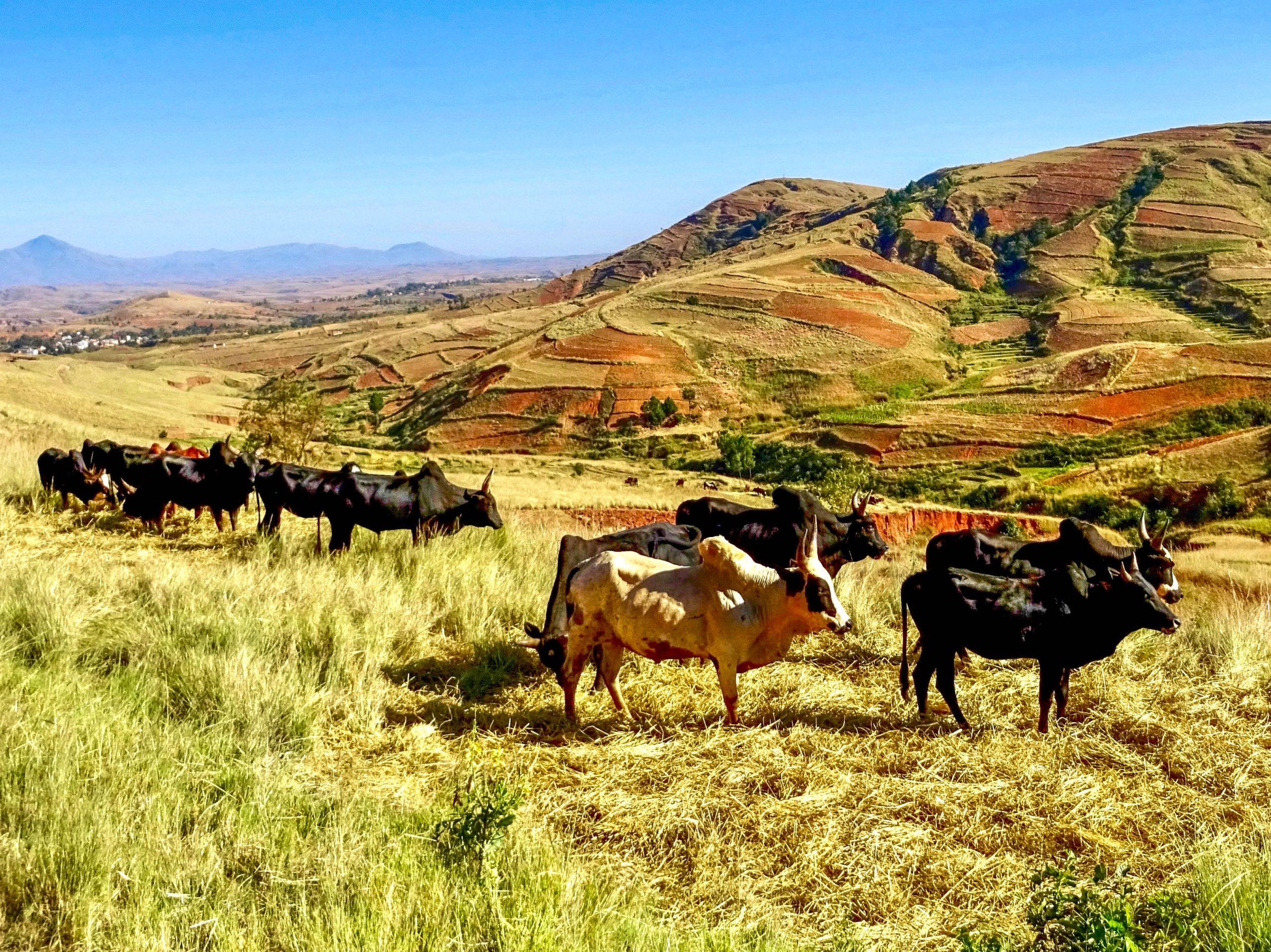 Zeboes in het heuvelachtige landschap van Madagaskar