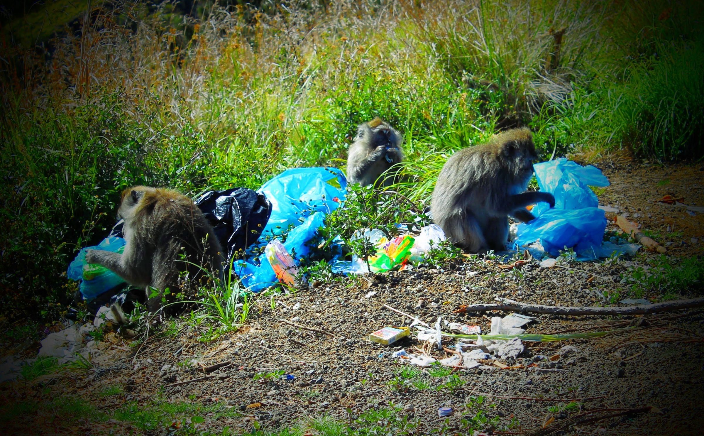 Eigen foto: apen die elke ochtend de achtergelaten vuilniszakken op de Rinjani vulkaan in Indonesië doorspitten