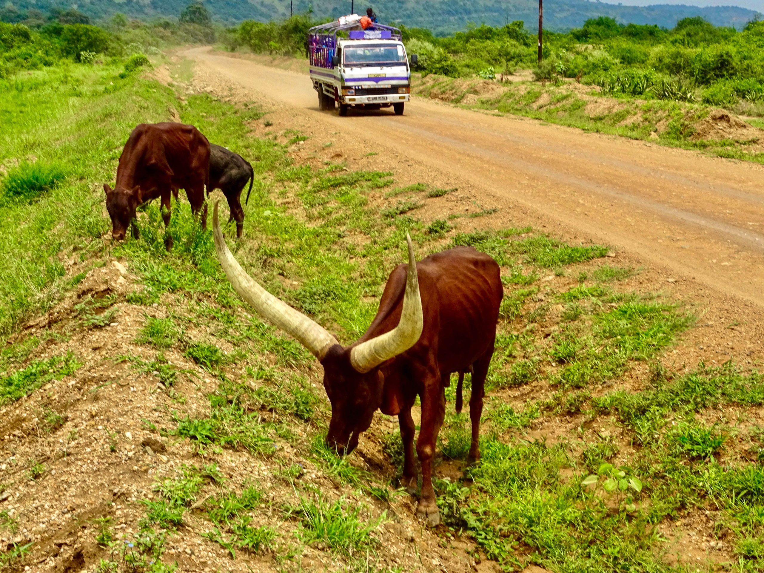 Een Ankole koe (stier) graast in de berm nabij Biso