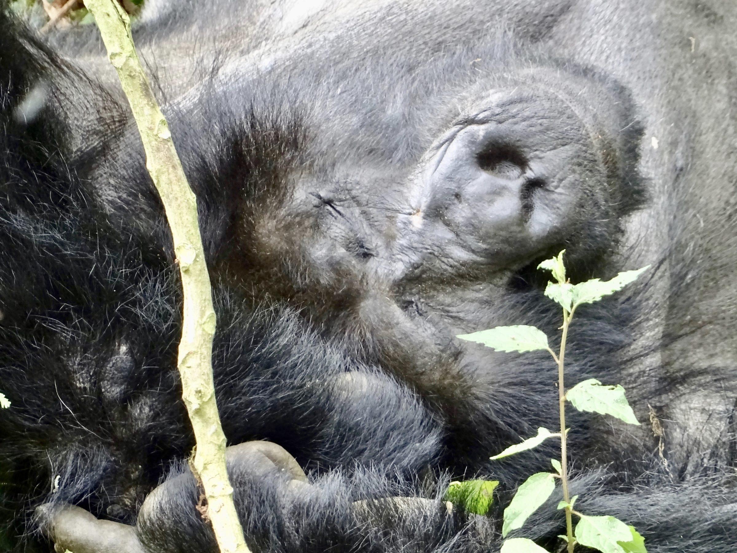 Een slapende berggorilla in Bwindi