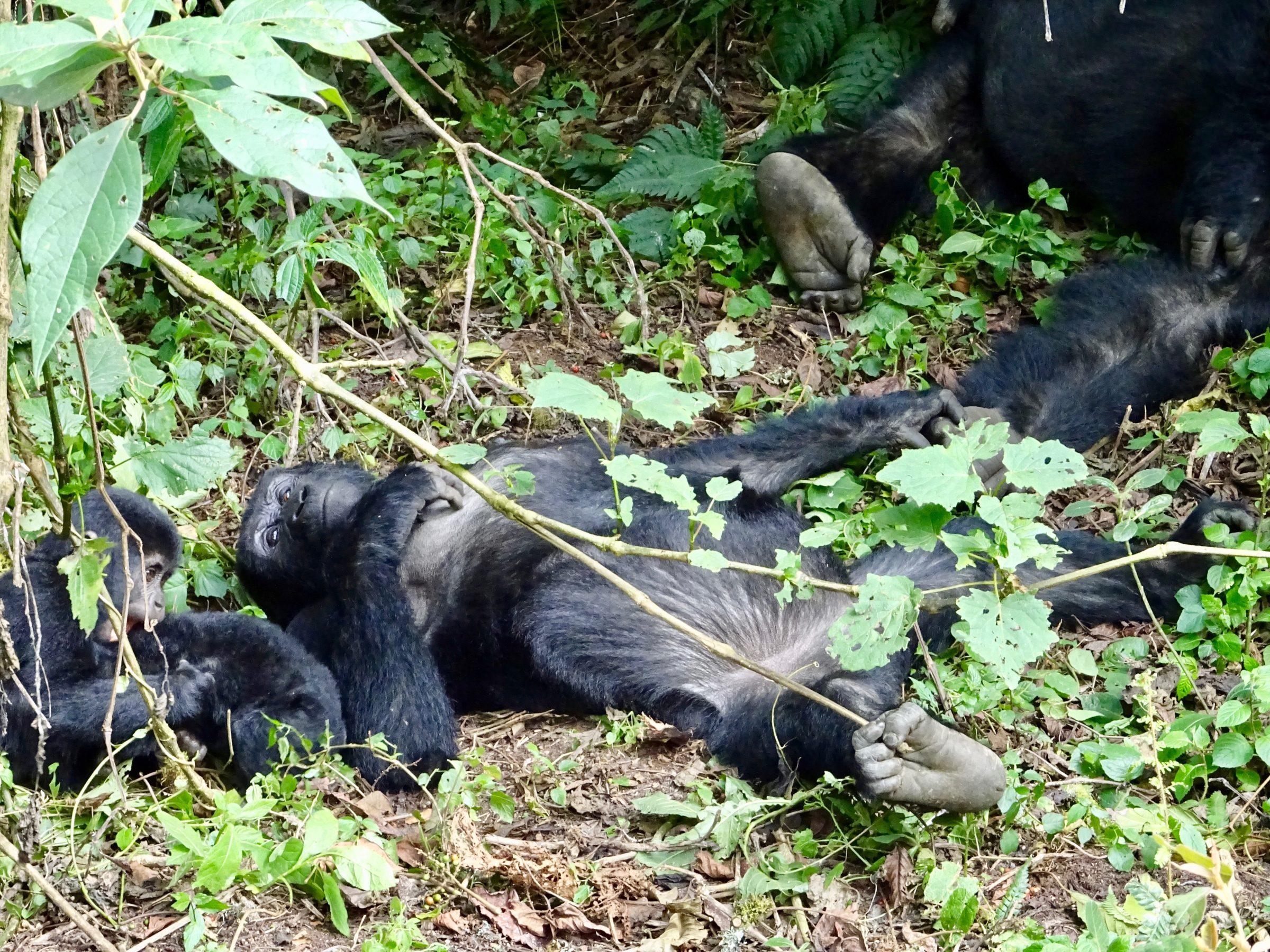 Compleet relaxte gorilla's in Bwindi