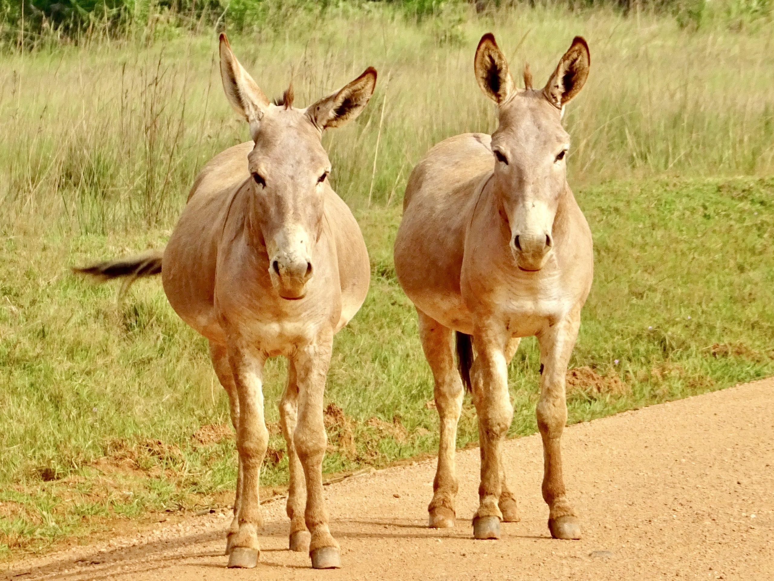Twee ezels op de zandweg richting Masaka