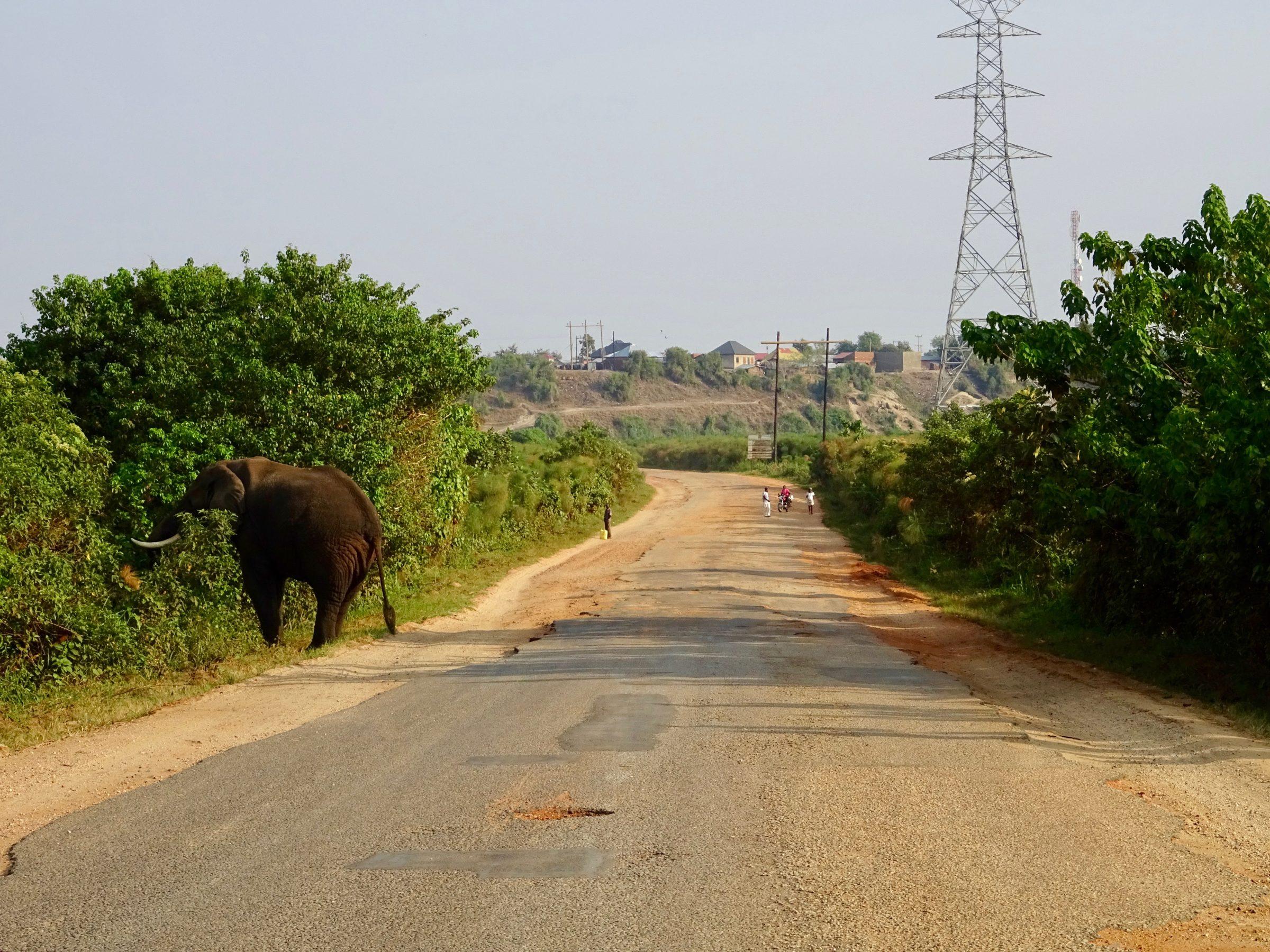 Een olifant aan het ontbijt op de hoofdweg richting Kasese