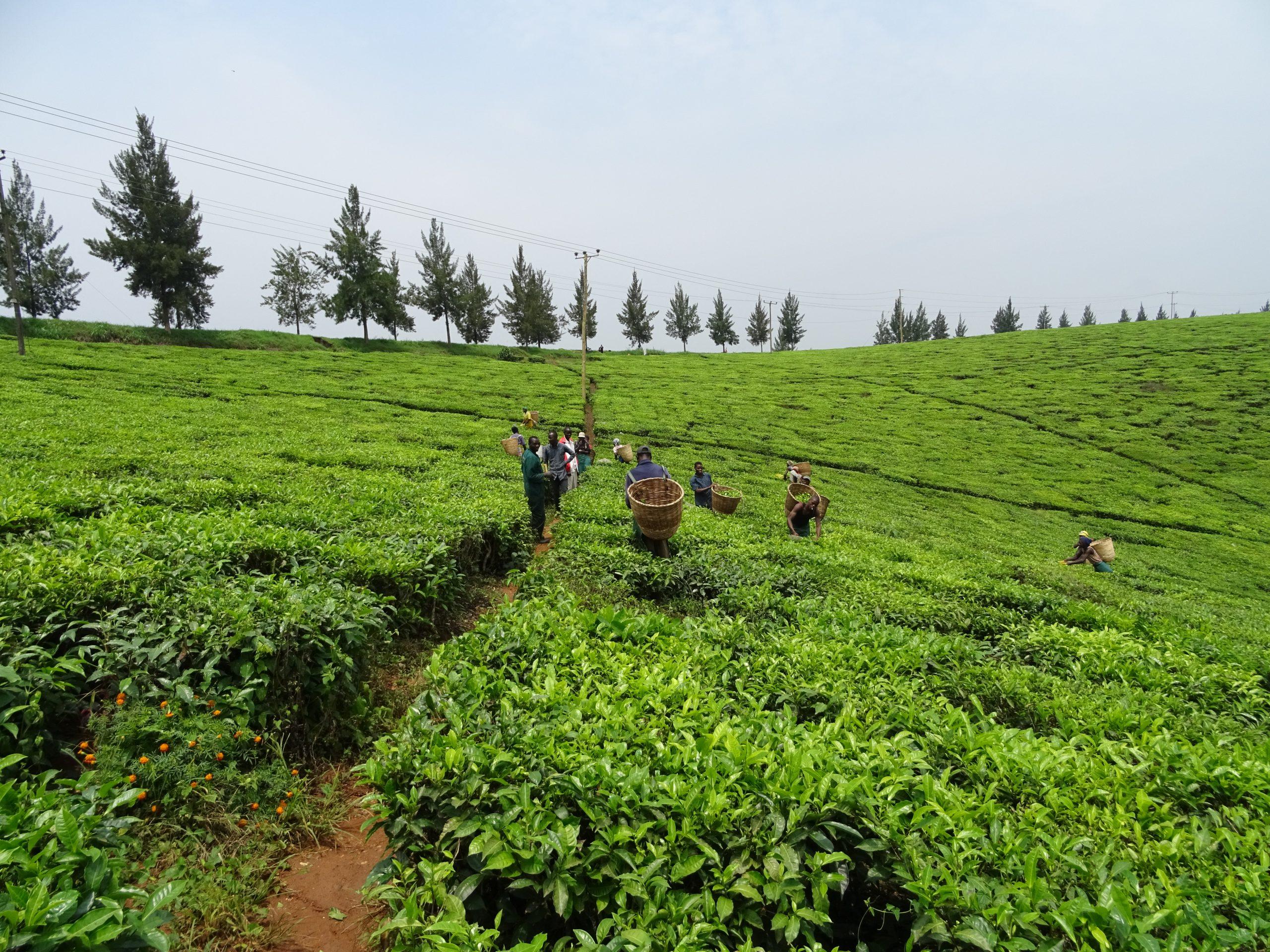 Tamteco Tea plantation Hoima, Oeganda