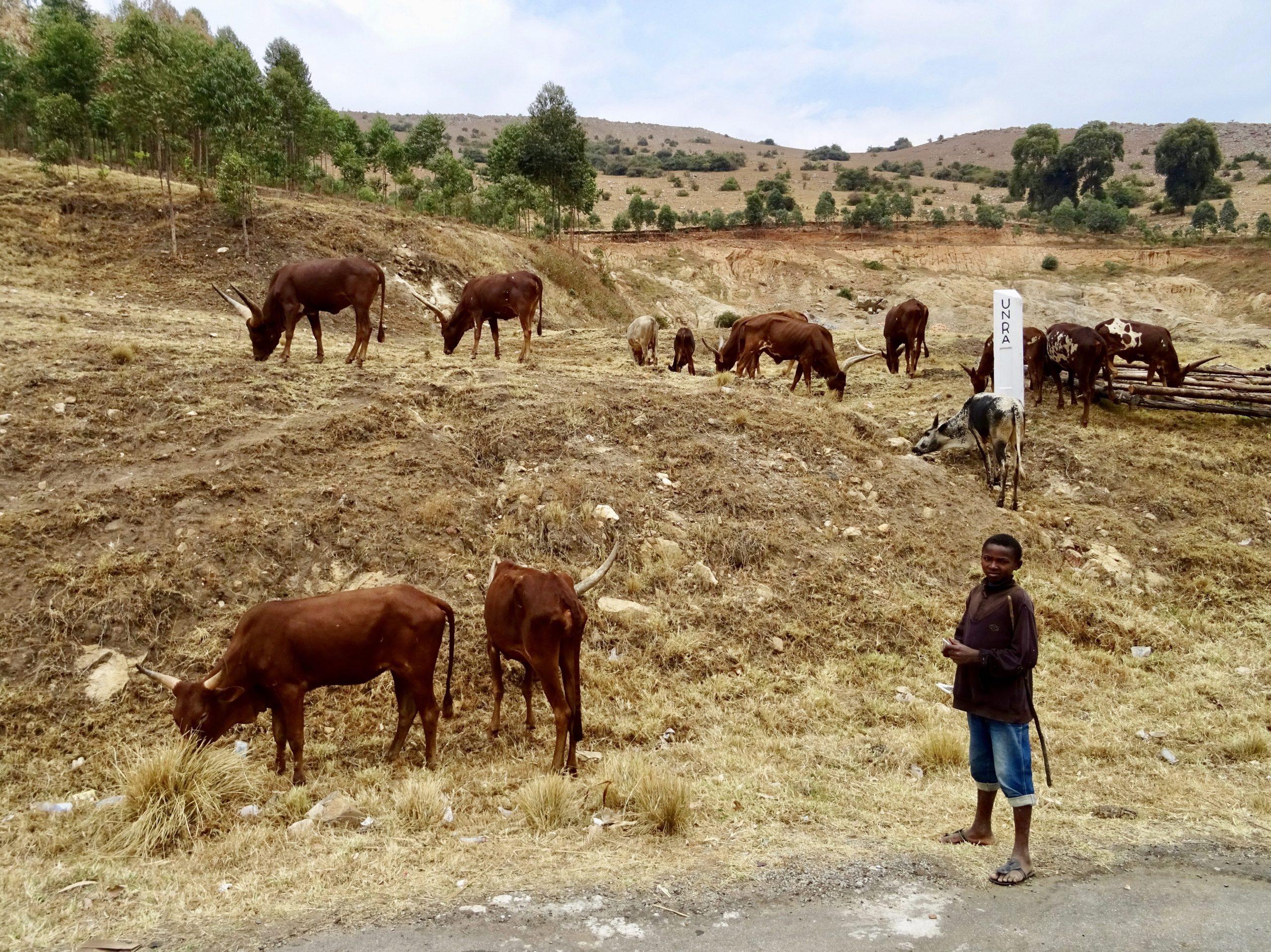 Een kudde Ankole koeien langs de weg