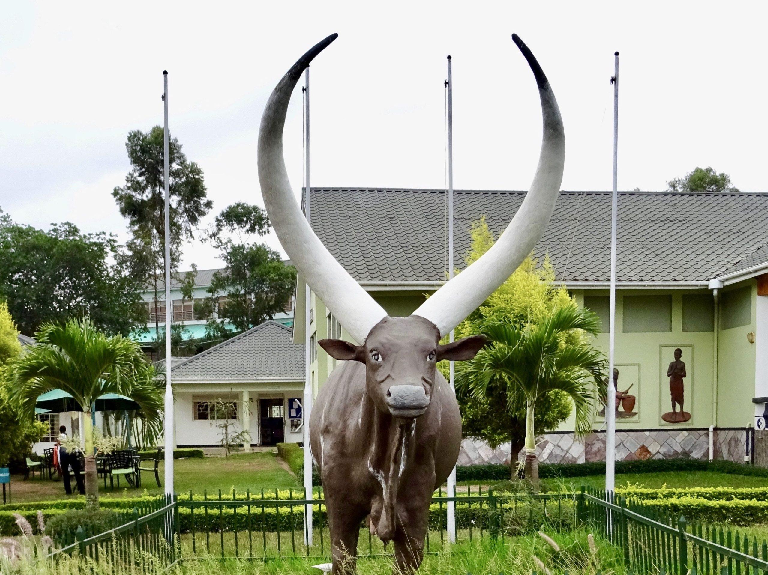 De Ankole koe met de grote hoorns