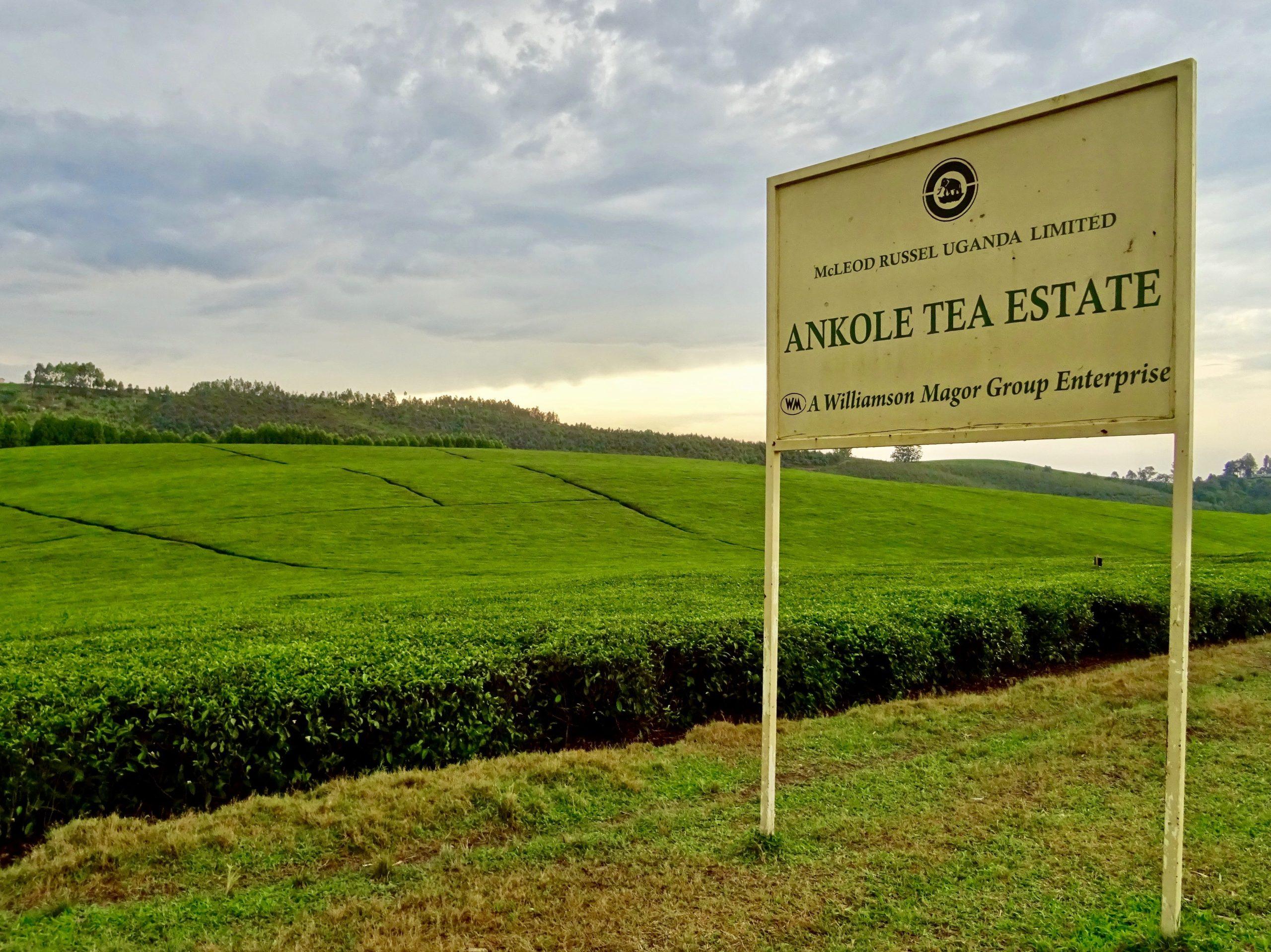 Ankole Tea Estate, Ishaka