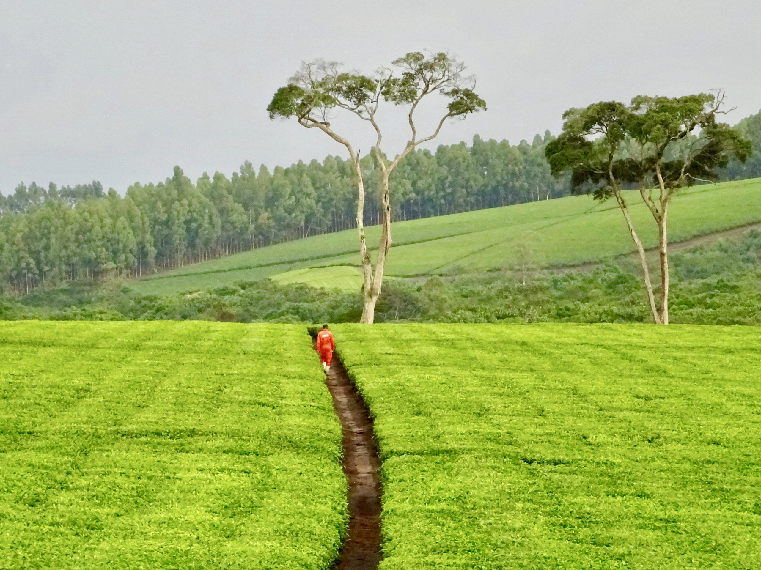 Een medewerker van Ankole Tea Estate baant zich een weg tussen theevelden door