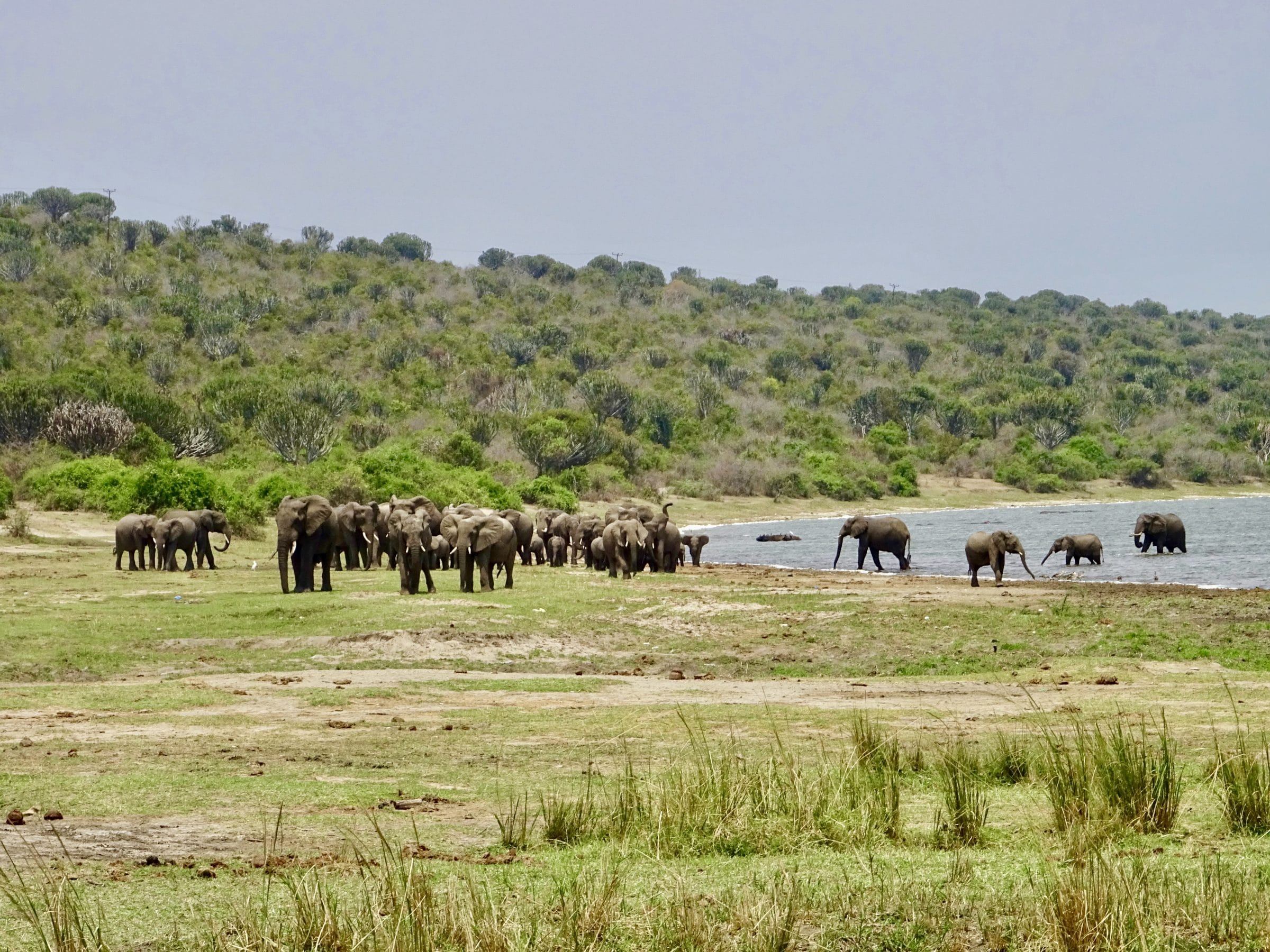 Een kudde olifanten aan Lake Edward, Queen Elizabeth National Park
