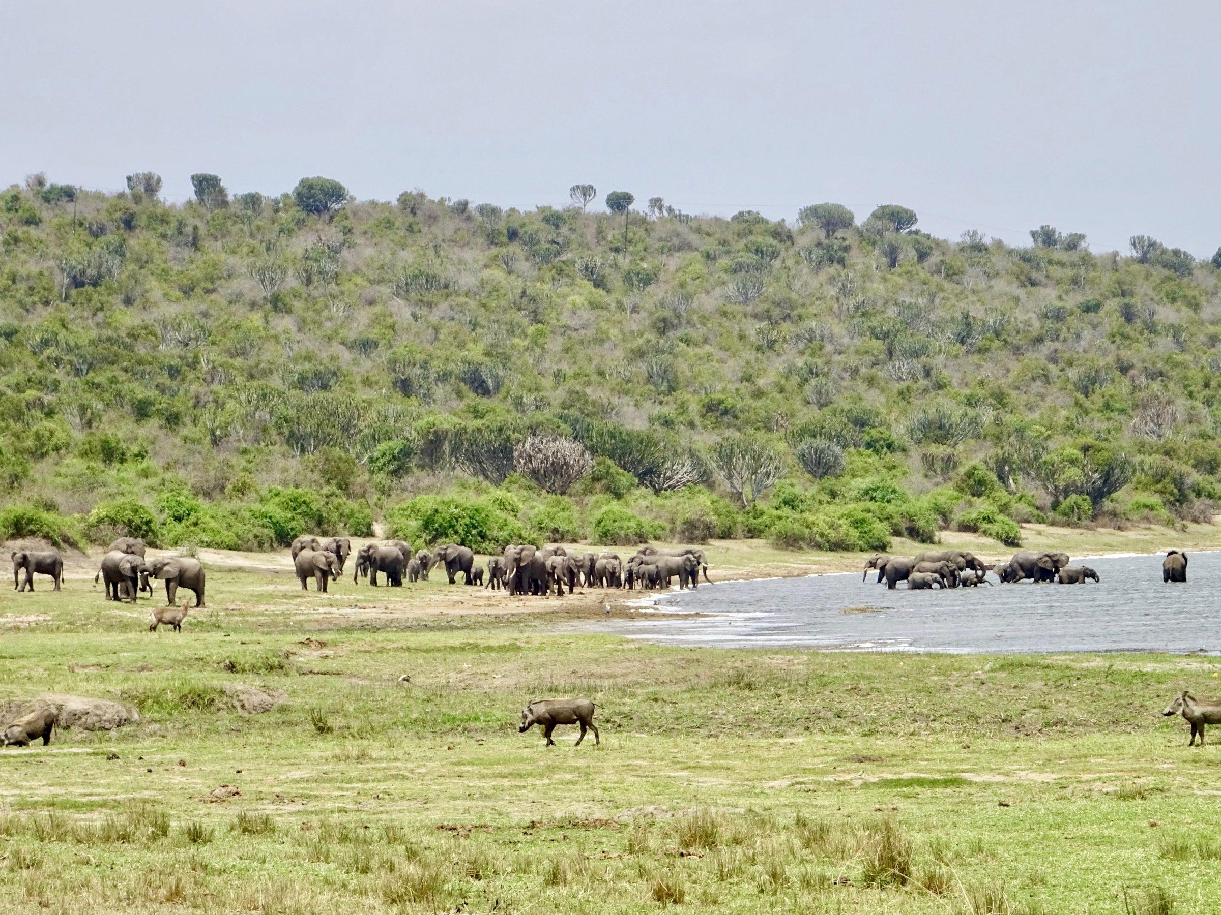 Olifanten en wilde zwijnen in Katwe aan de oever van Lake Edward