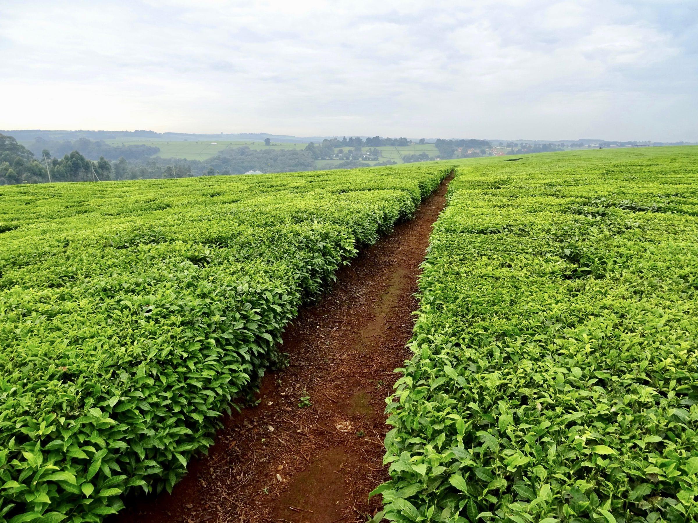 Theeplantages in de omgeving van Kericho