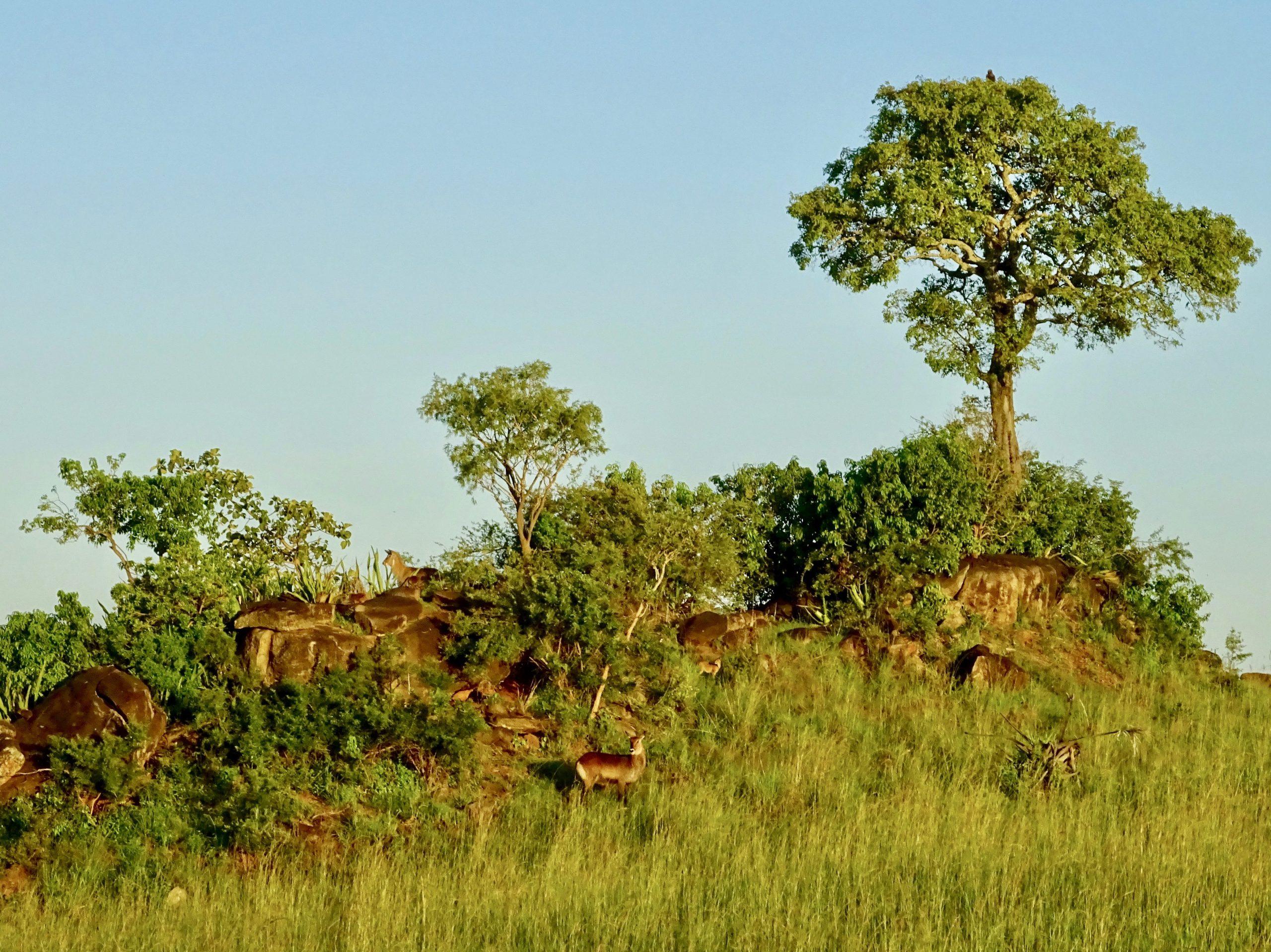 Impala's op een rots nabij het kamp
