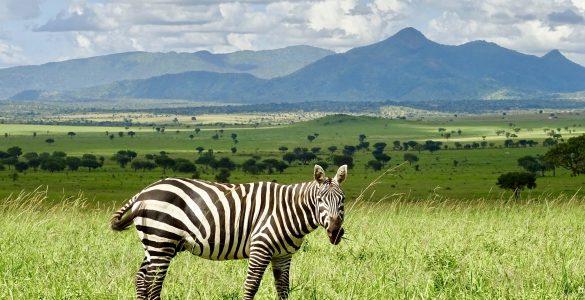 Een zebra in Kidepo National Park