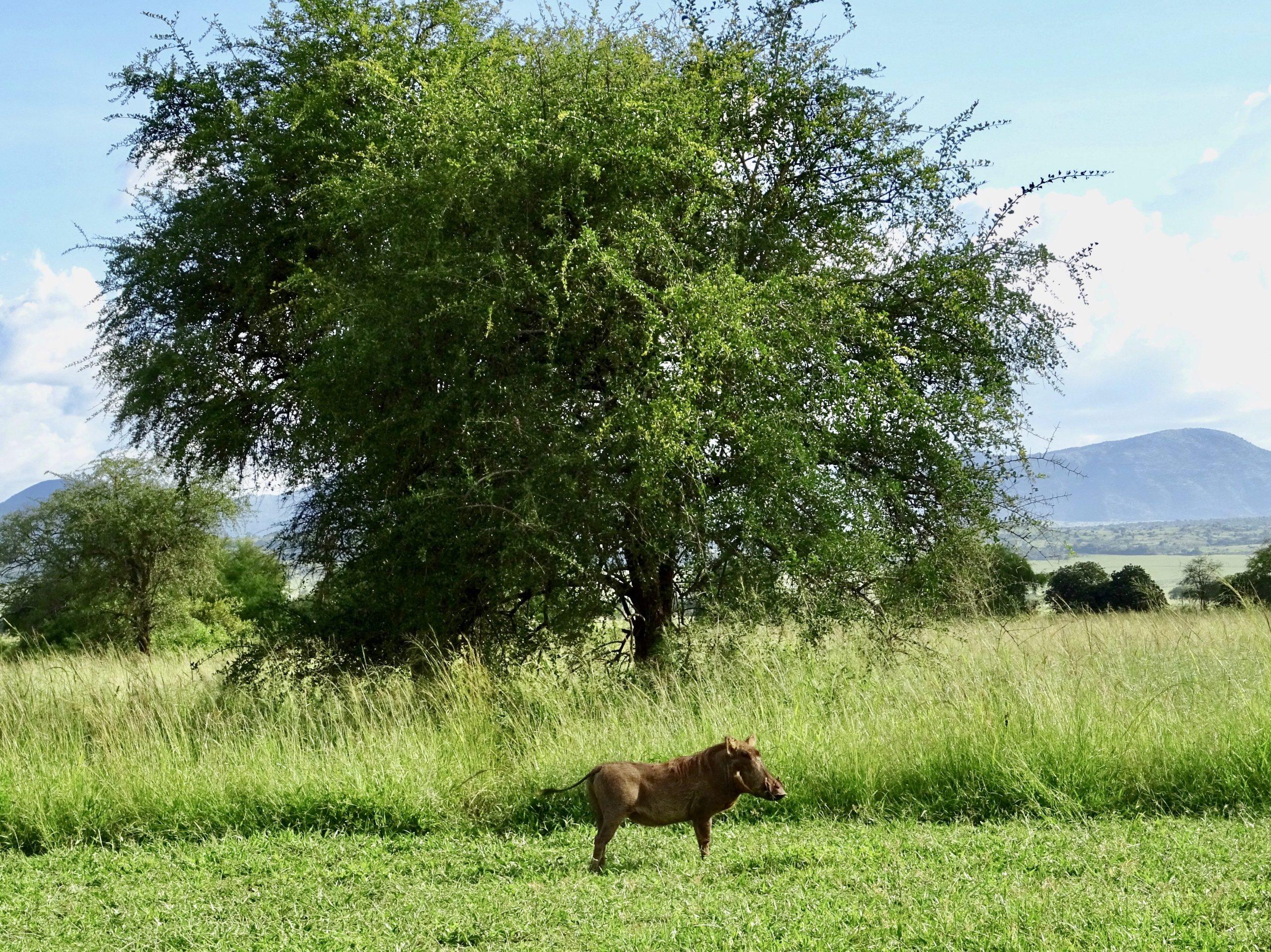 Een wrattenzwijn meldt zich bij het Apoka kamp