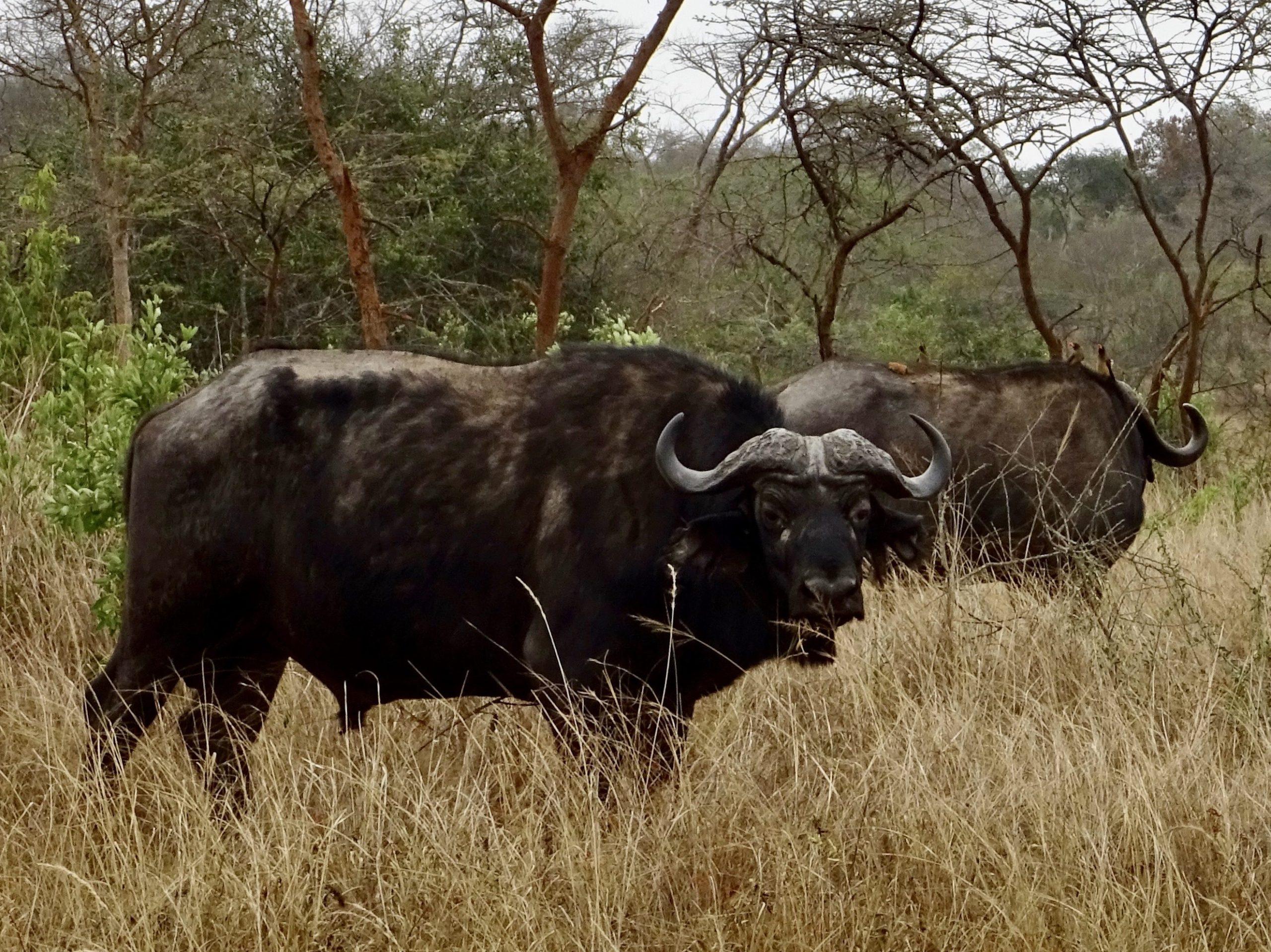 Twee buffels bij de ingang van Lake Mburo NP