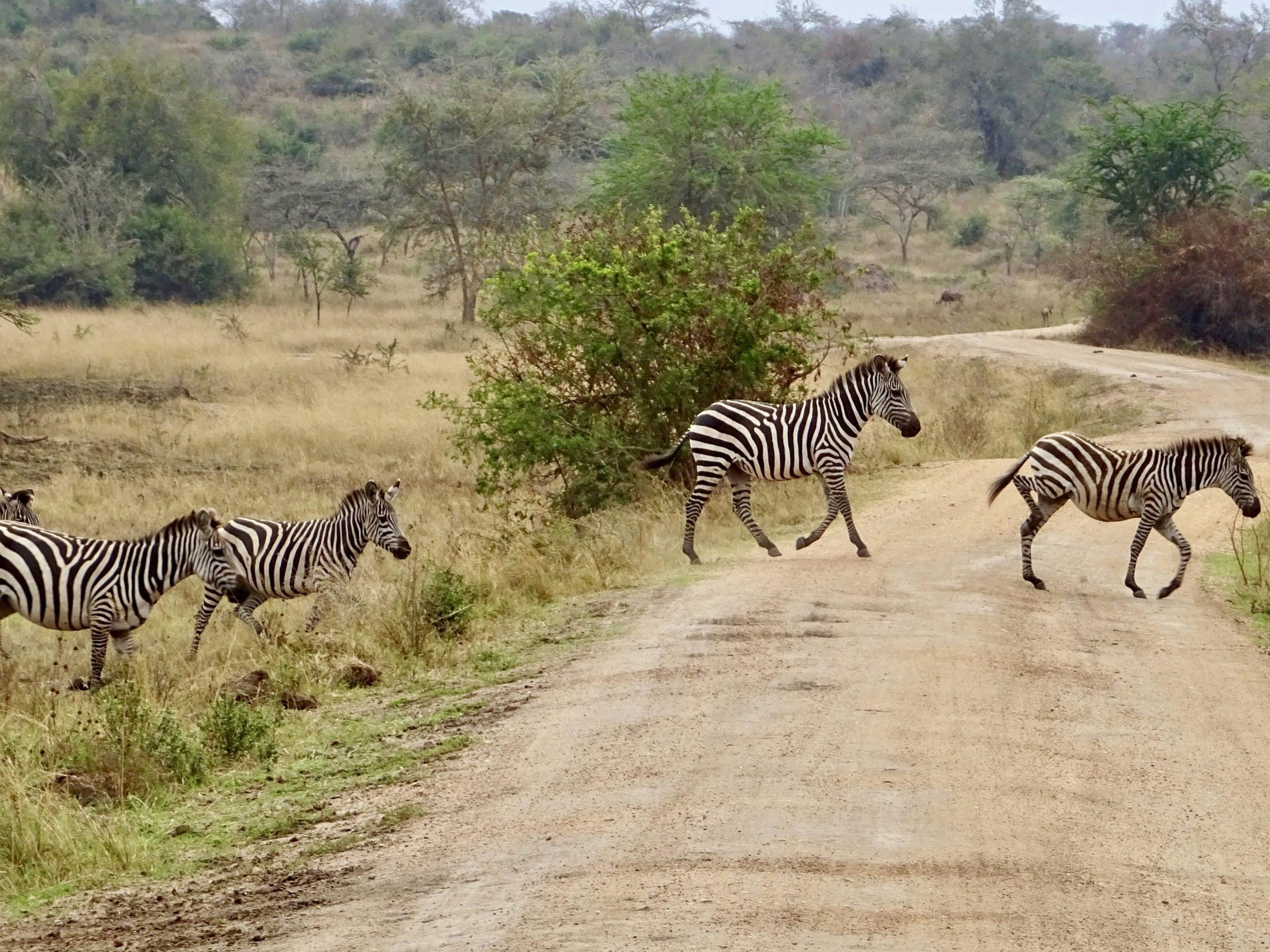 Zebra's steken over in Lake Mburo NP