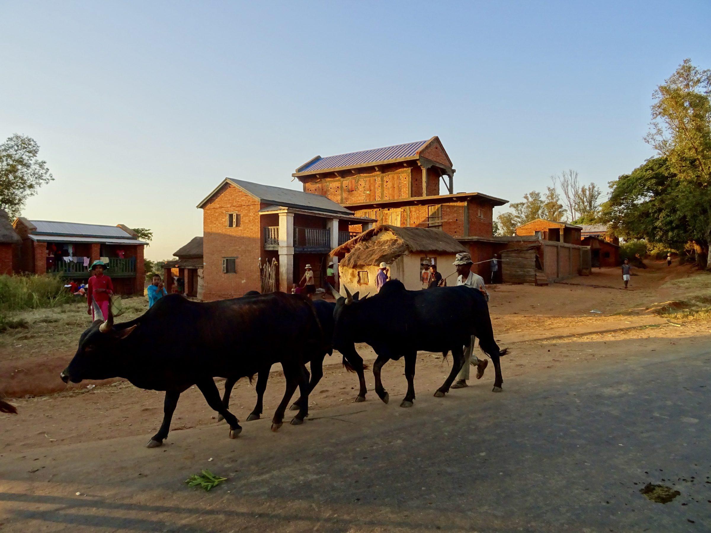 Een paar zeboes met herder op weg naar huis nabij Antsirabe