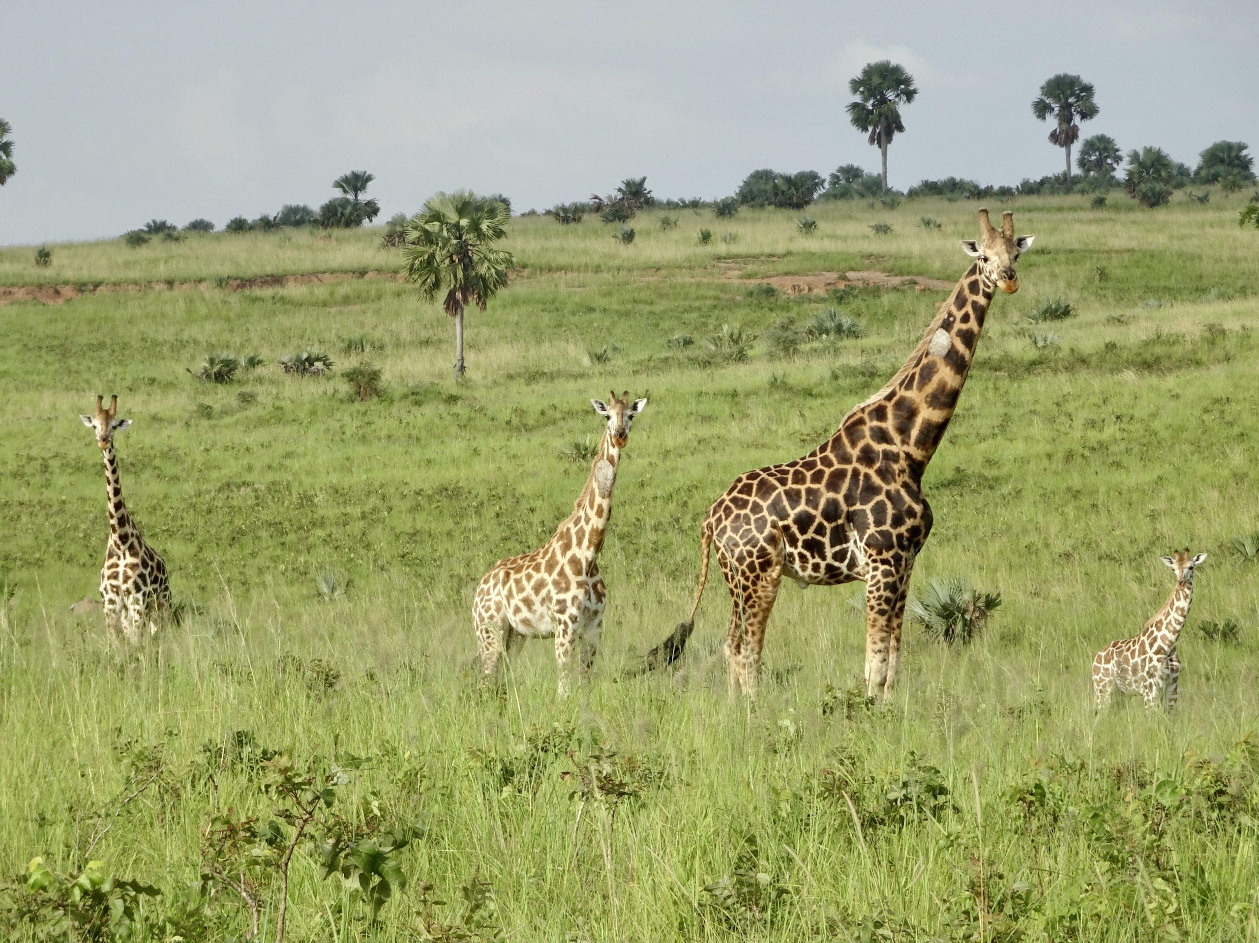 Verbaasde blikken van giraffes naar twee mzungu's met scooters