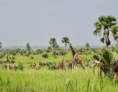 murchison national park oeganda giraf