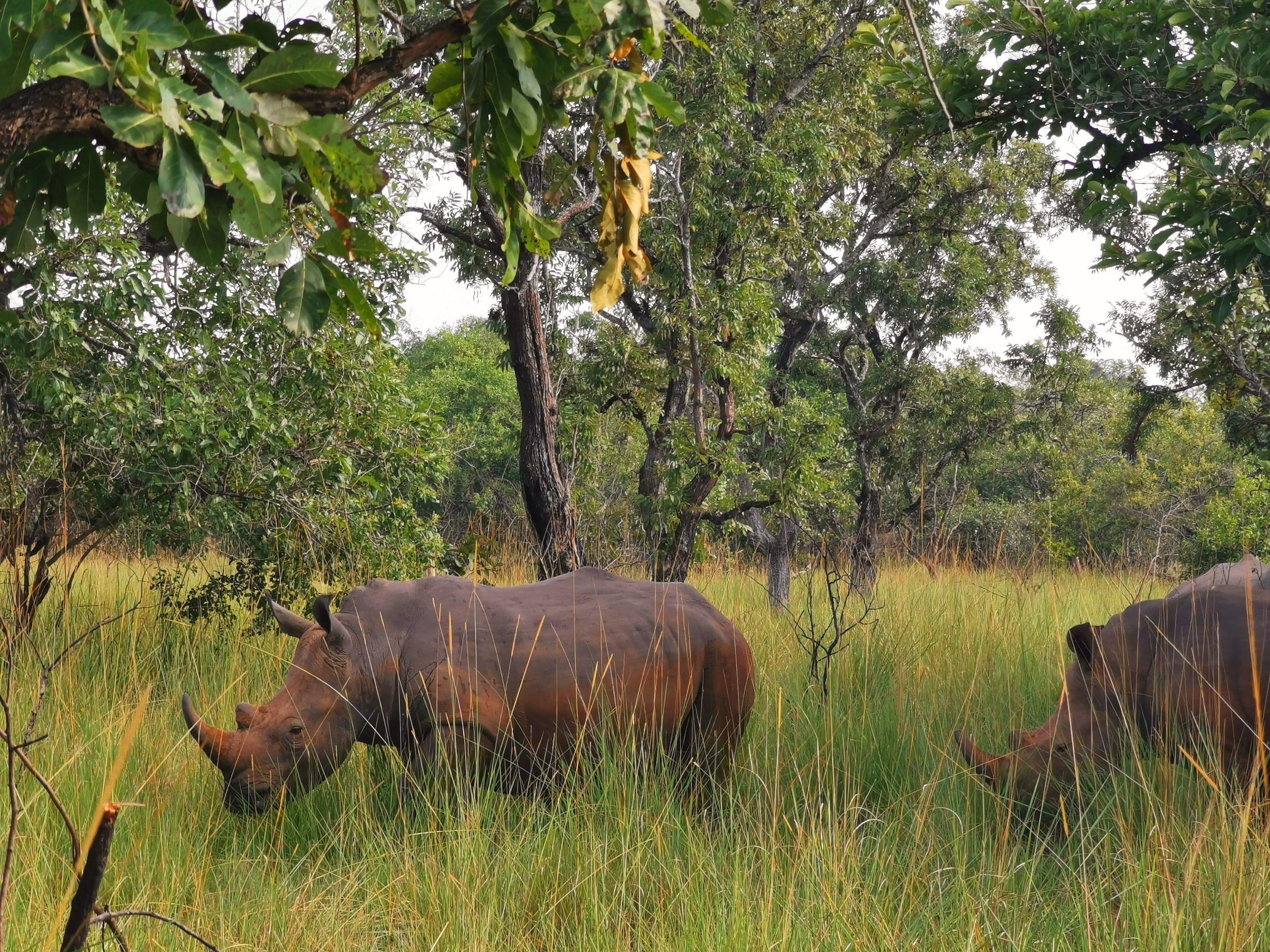 Neushoorns bij Ziwa Rhino Sanctuary