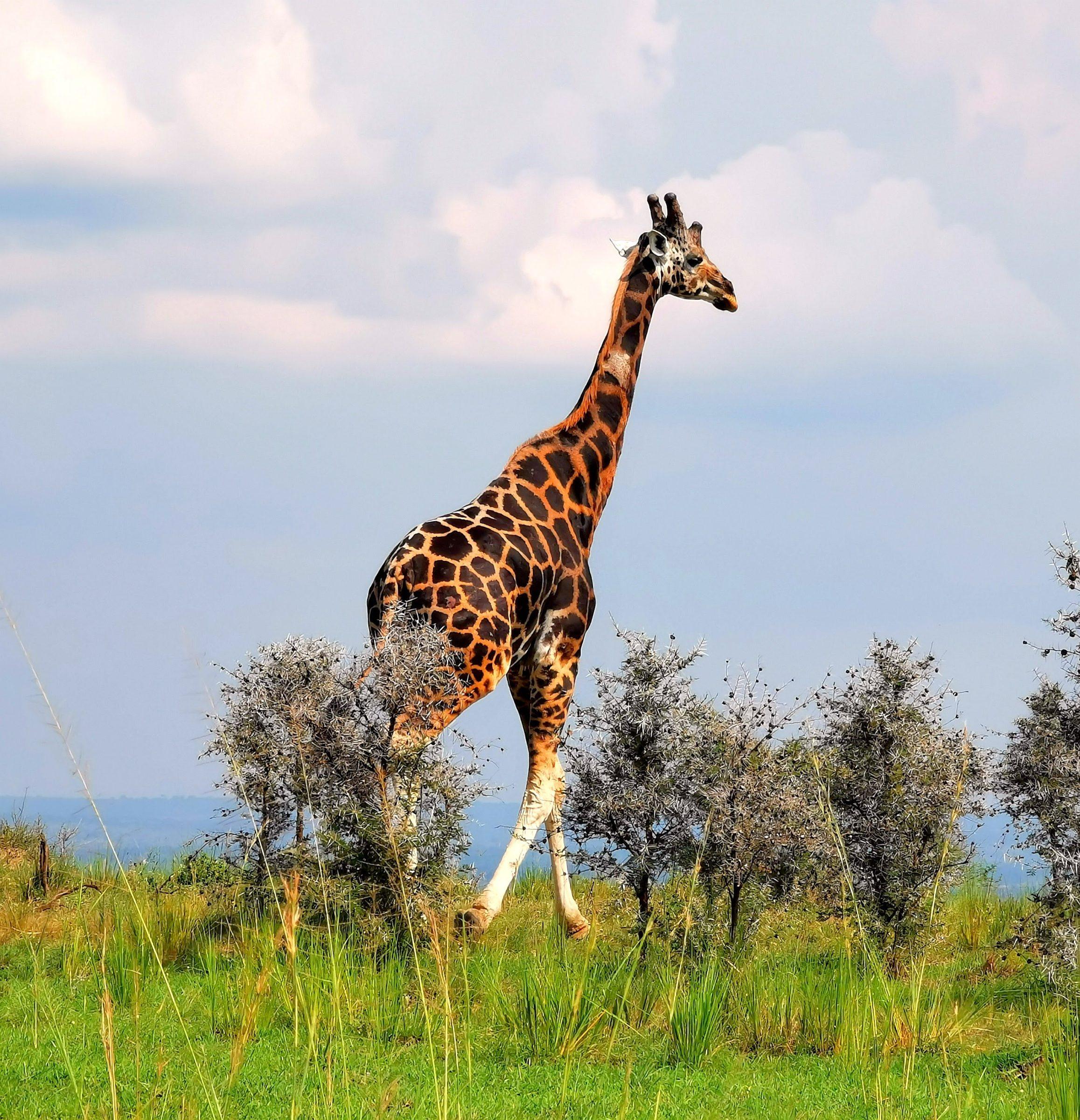 Rothschild giraffe (Rothschildgiraffe - Giraffa Camelopardalis Rothschildi)