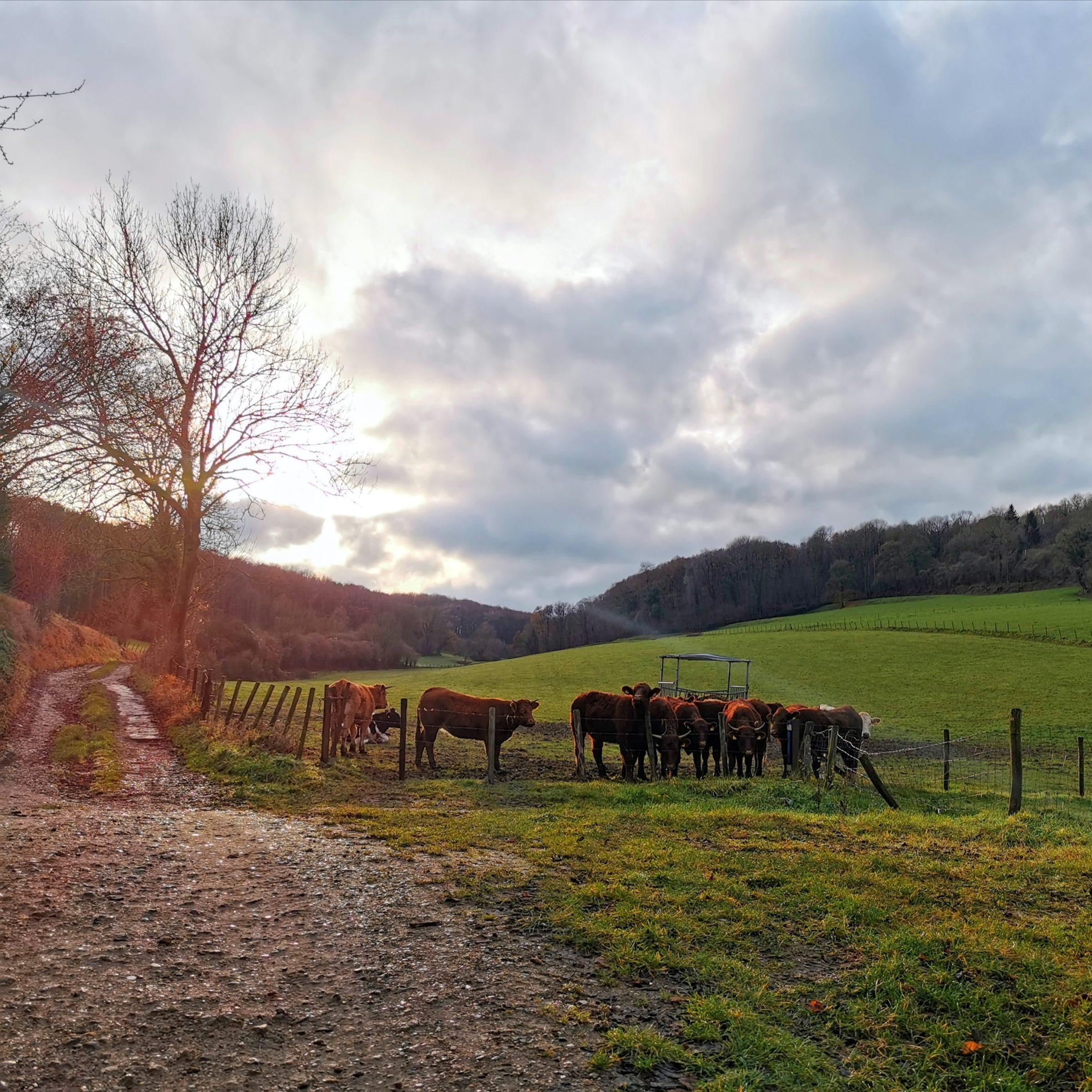 Wandelroute Schin op Geul: weilanden en koeien
