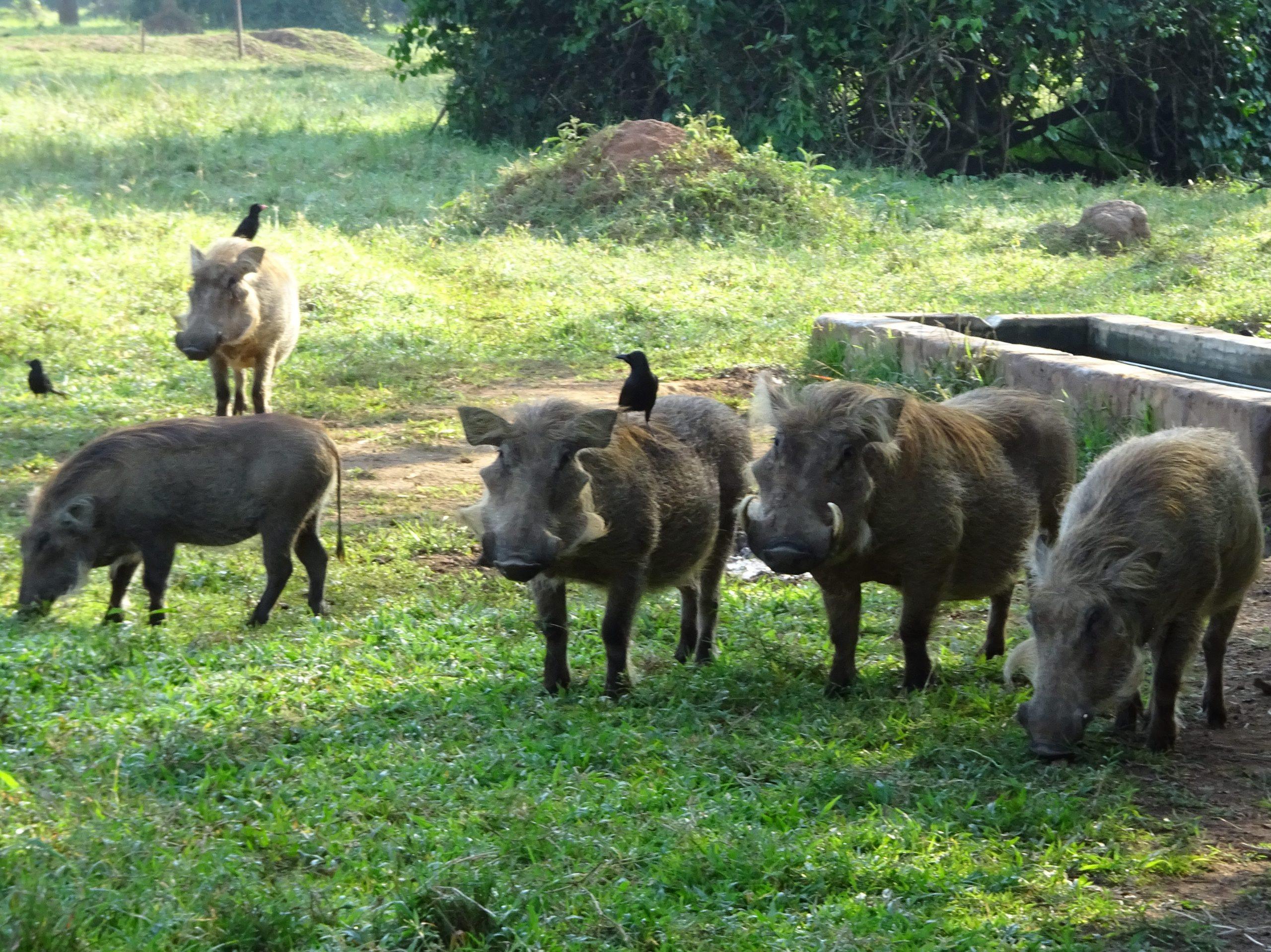 Wrattenzwijnen besluiten ons te volgen op onze wandeling