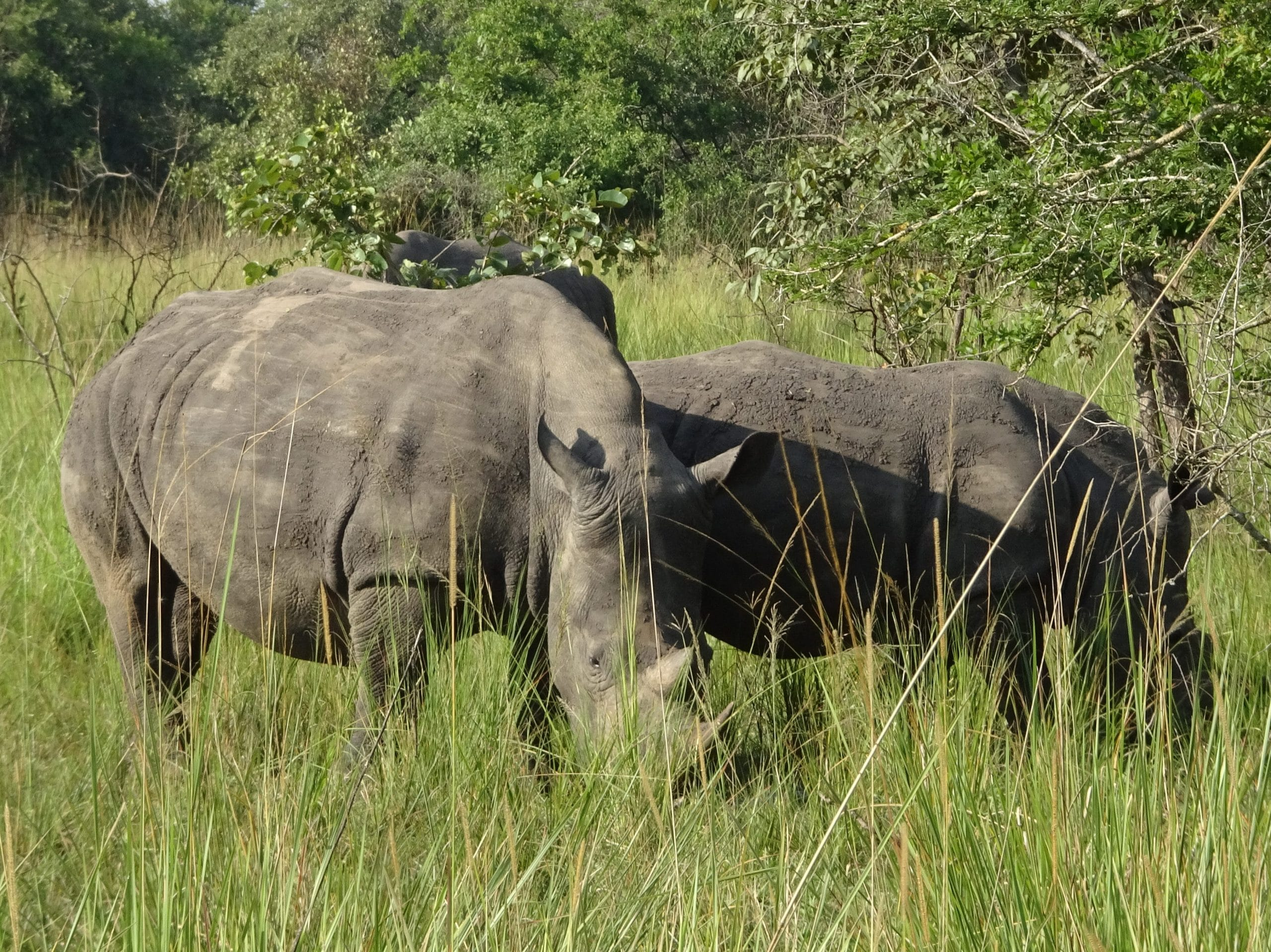 Neushoorns aan het grazen in Ziwa Rhino Sanctuary